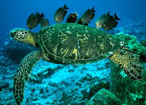 Green Sea Turtle and Tangs, Hawaii