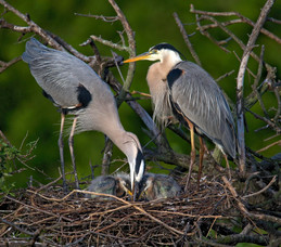 Great Blue Herons and chicks