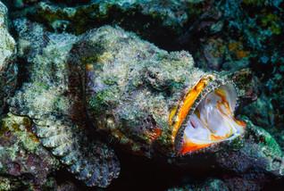 Devil Scorpionfish, Hawaii