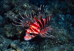 Lion Fish, Hawaii