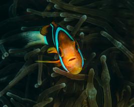Anemone Fish, Truk Lagoon