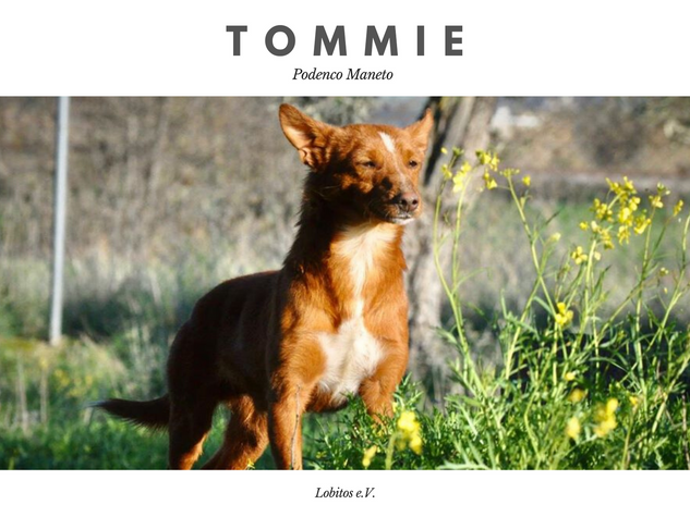 tommie.png