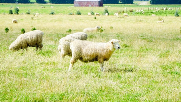 Do sheep access riparian zones to drink or graze?