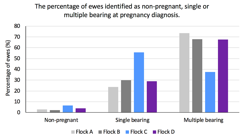 Graph 1. The percentage of two-tooth ewes identified as non-pregnant, single- or multiple-bearing at pregnancy diagnosis.