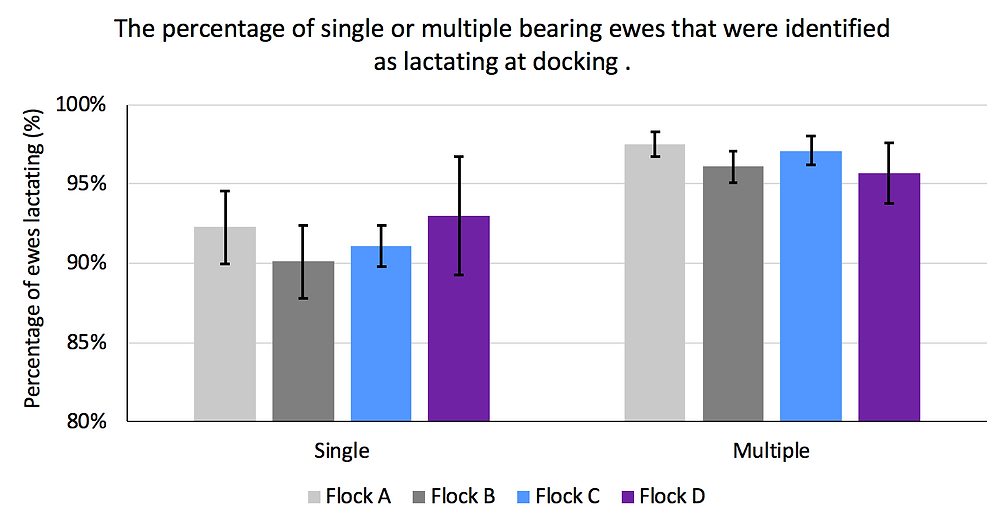 Graph 2. The percentage of single- or multiple-bearing two-tooth ewes that were identified as lactating at docking.