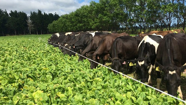 Late summer diet on cow milk production and urinary N output