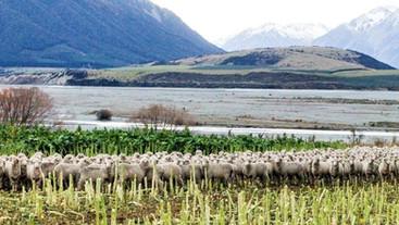 Breeding season growth can increase reproductive rate in Merino ewe lambs