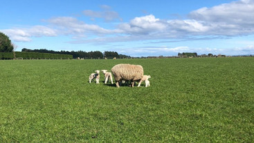 Does nutrition have an effect on the incidence of bearings in sheep?