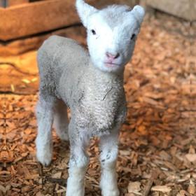 Lambs BLOGPOST COVER SIZE.jpg