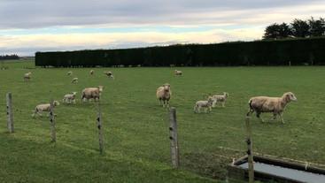 Do triplet-bearing ewes produce more milk than twin-bearing ewes?