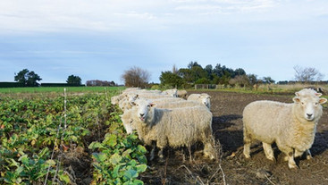 Does grazing fodder beet during pregnancy affect lamb survival?