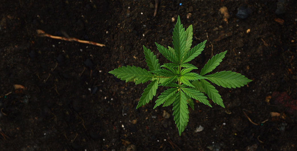 Hemp Leaf (Wide).jpg