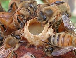 Продукты пчеловодства - маточное молочко