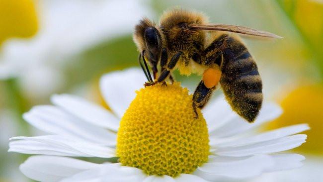 пчела, сбор нектара