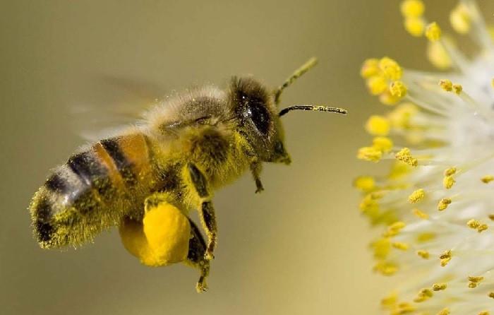 пчела с обножкой