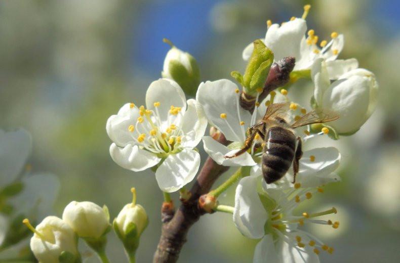Пчела на опылении