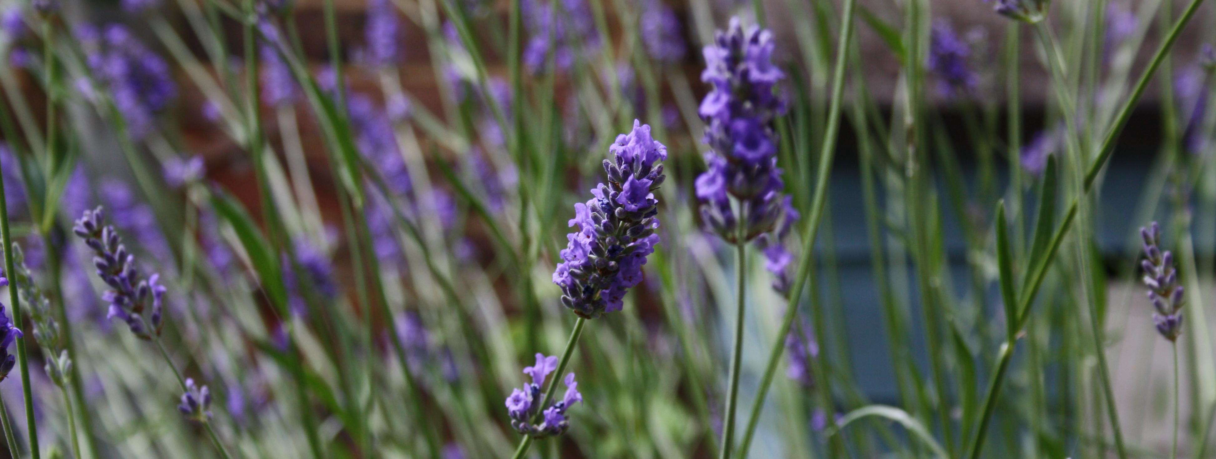 lavender_cropped.jpg