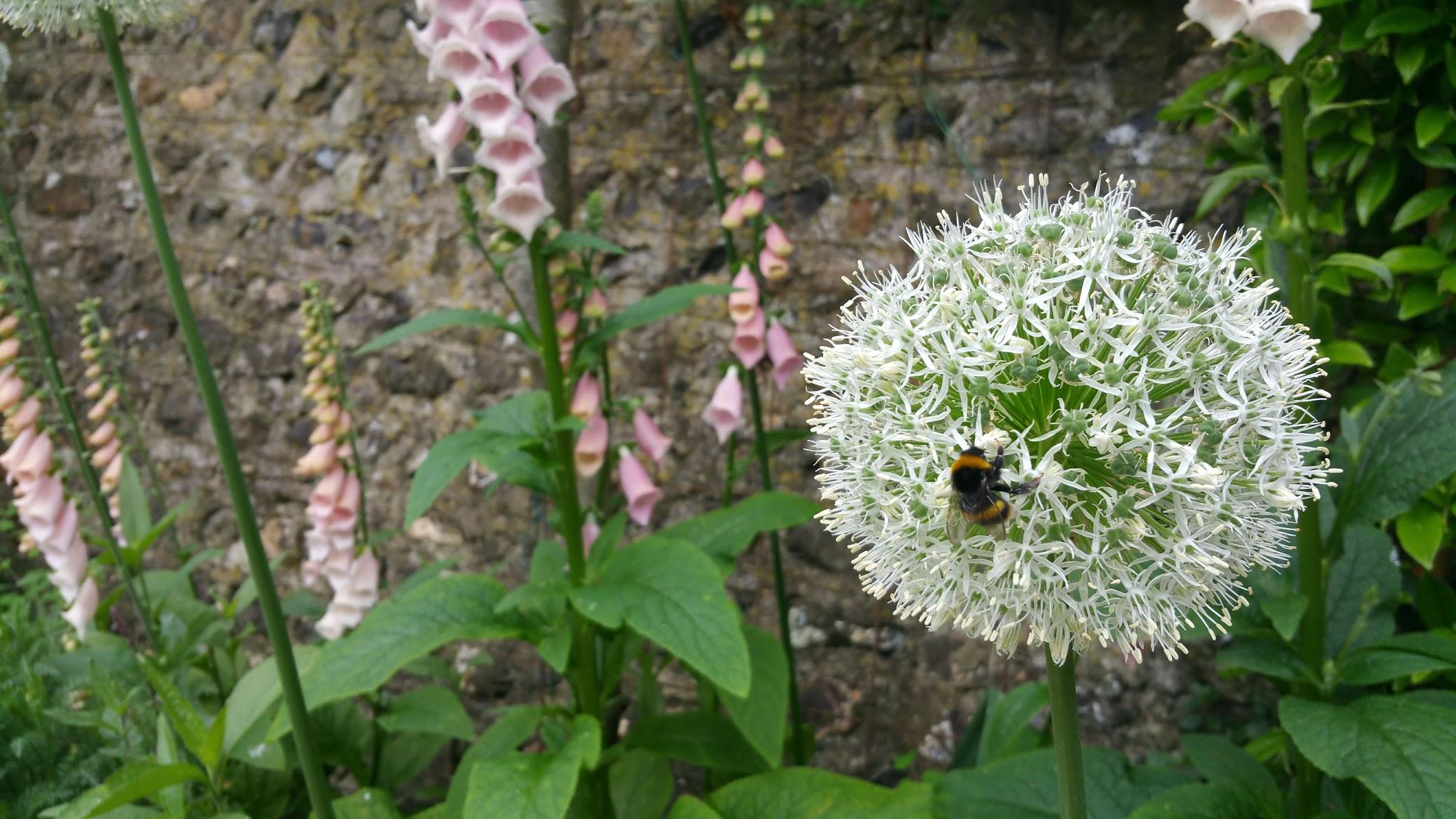 whitealliumbee