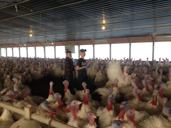 Picture of the boys checking turkeys.  I love that the kids get to grow up on a farm.  They are learning so much!