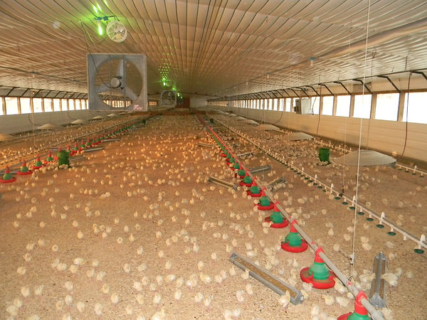 Here at Wagner Farms start our turkeys in the brooder house.