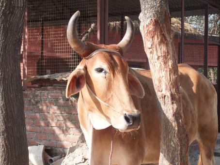 新年のご挨拶にかえてーーエコロジカルな智慧としての牛。ヴァンダナ・シヴァの言葉から