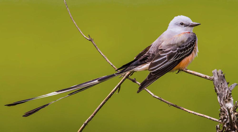 Scissor-tailed Flycatcher at Stella Plantation