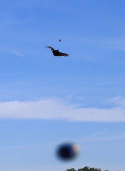 Sailing Pheasant