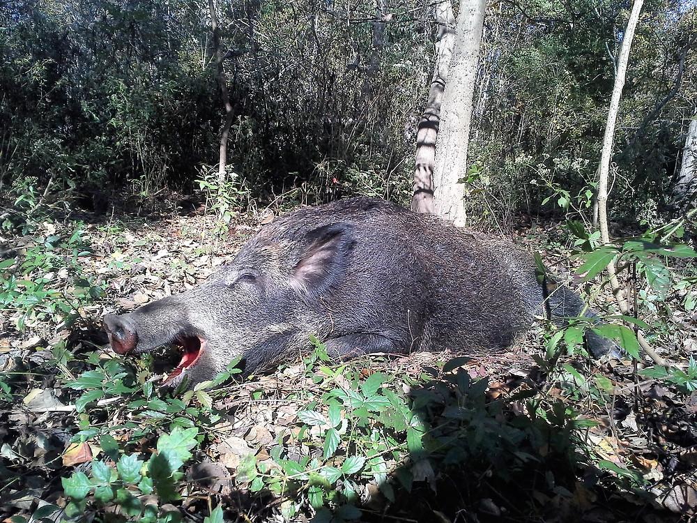 Louisiana fair chase hog hunting