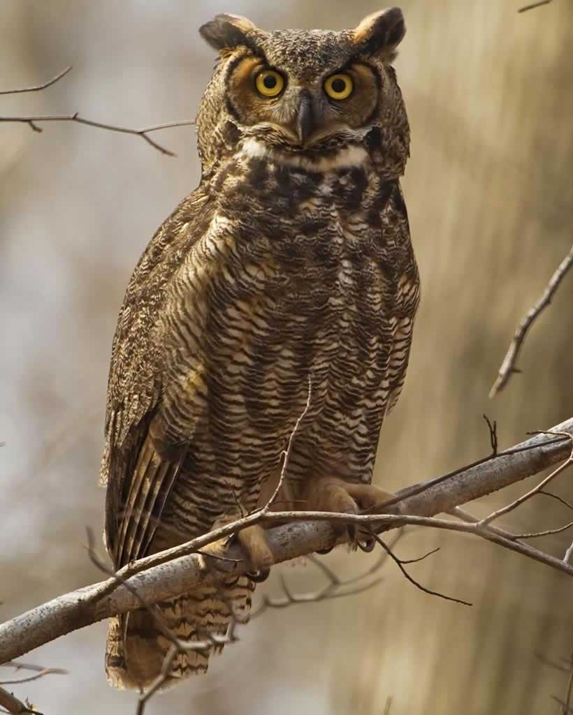 Great Horned Owl at Stella Plantation