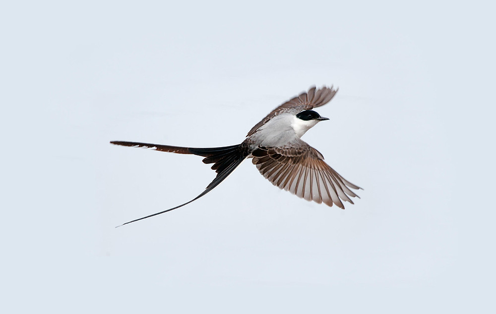 Fork-Tailed Flycatchers at Stella Plantation