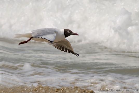 Brown-headed Gull