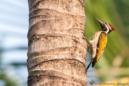 Lesser Golden-backed Woodpecker