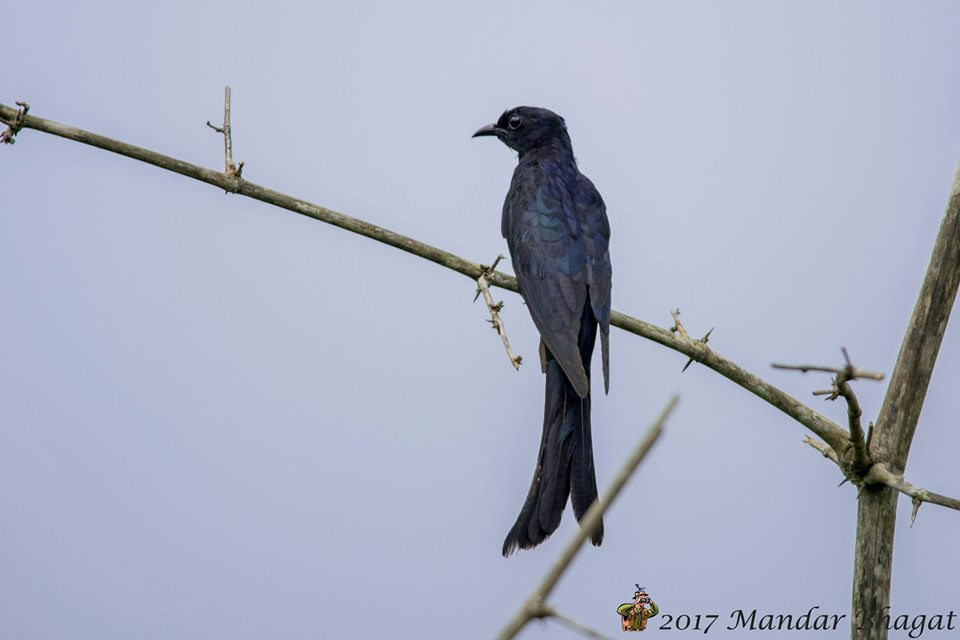 Fork-tailed Drongo Cuckoo