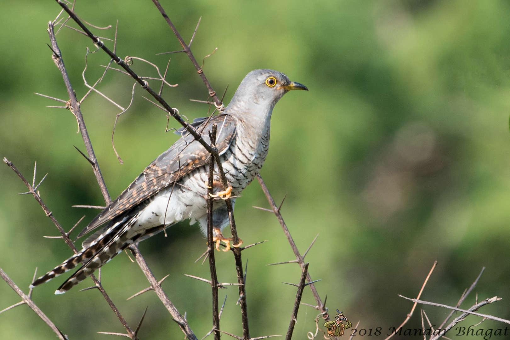 Eurasian-Common Cuckoo.jpg