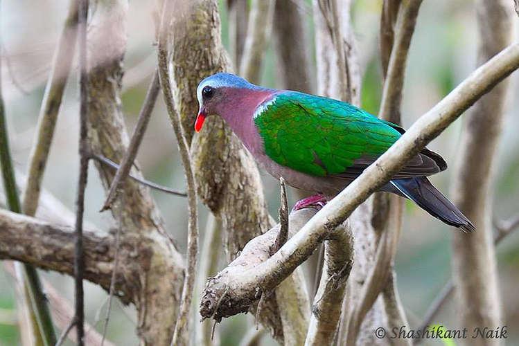 Emerald Dove male.jpg