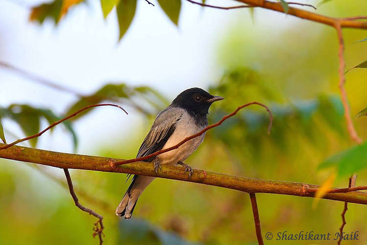 Black-headed Cuckooshrike male.jpg
