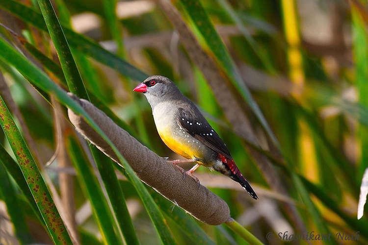 Red Avadavat Female.jpg
