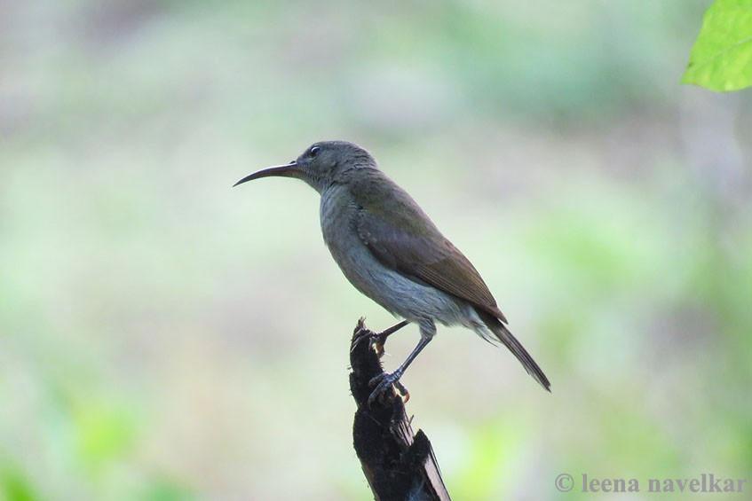 Vigors's Sunbird