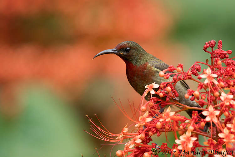 Vigors's sunbird MMB_7023.jpg