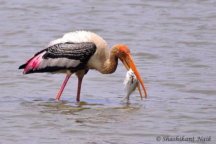 painted stork.jpg