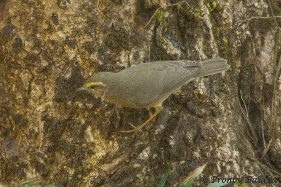 Sulphur-bellied Warbler