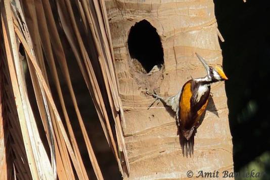 White-naped Woodpecker