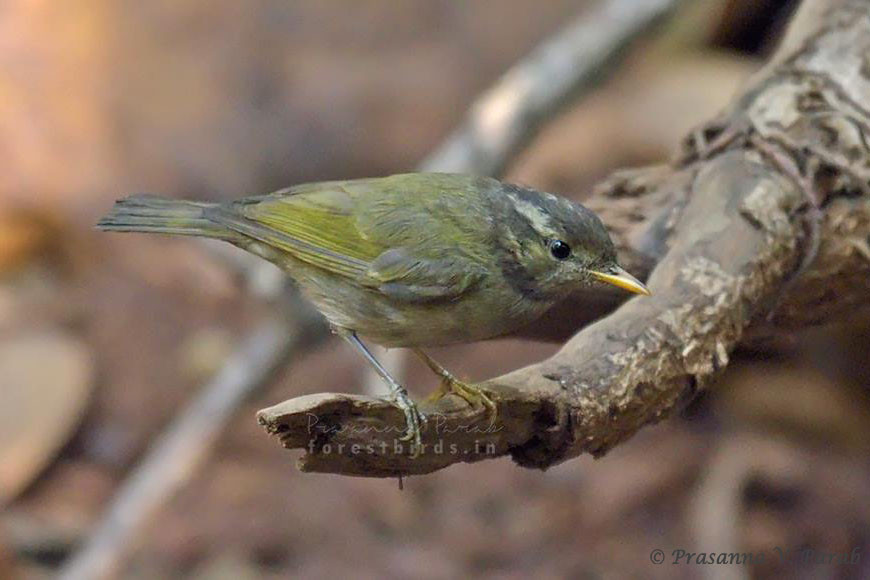 Western Crowned Leaf Warbler