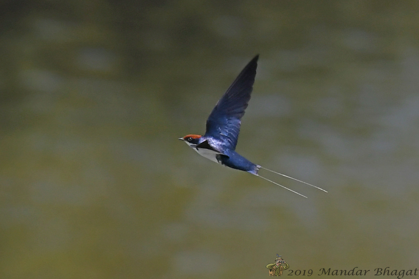 Wire-tailed Swallow