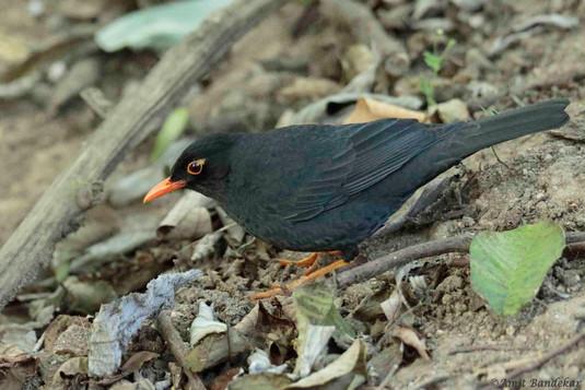 Indian Blackbird