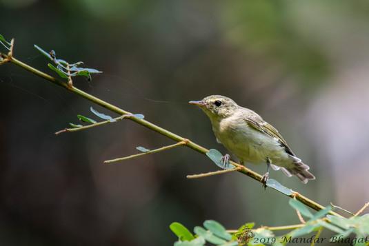 Green Leaf Warbler
