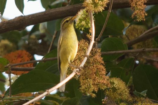 Tickell's Leaf Warbler