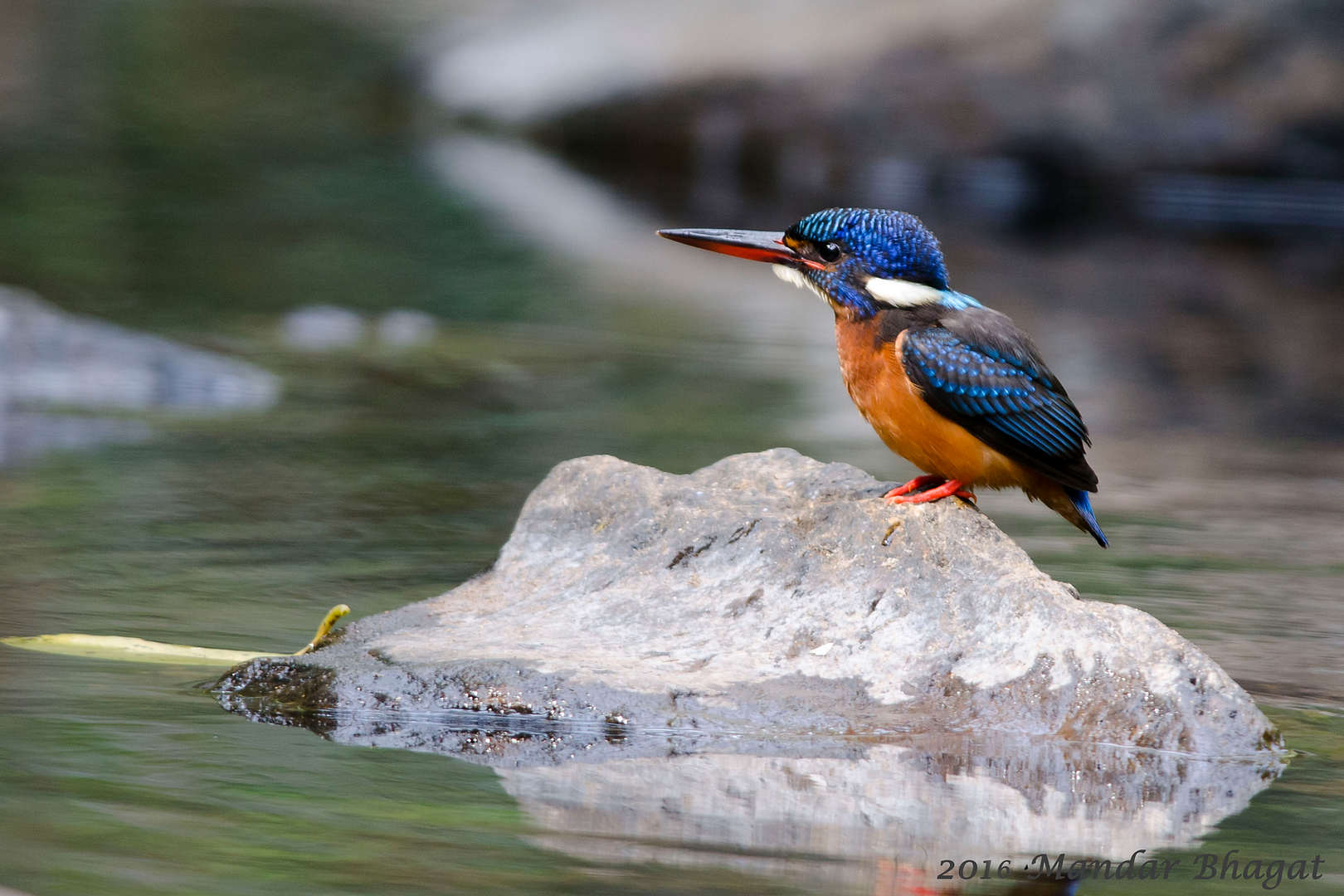 Blue-eared Kingfisher.jpg