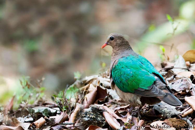 Emerald Dove -Chalcophaps indica.jpg