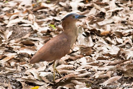 Malayan Night Heron